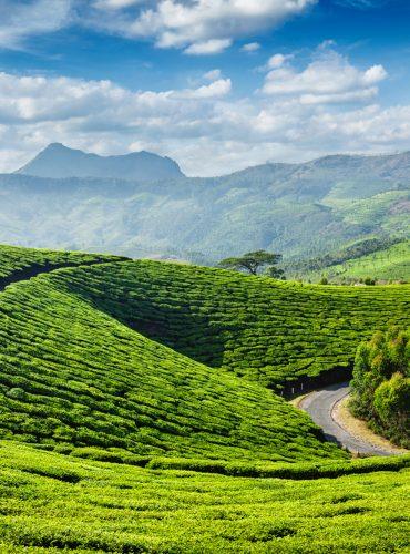 tea-plantations-munnar-kerala-state-india-MQ7UEZT (1)